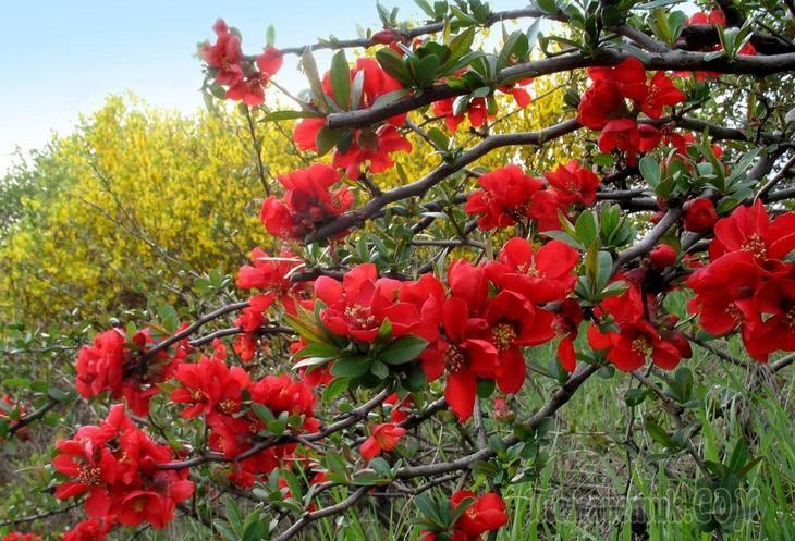 Айва японская - польза и вред. Посадка и выращивание, уход и размножение айвы хеномелес