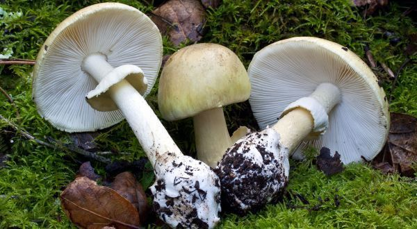 Amanita Phalloides Top 10 Most Poisonous Mushrooms In The World