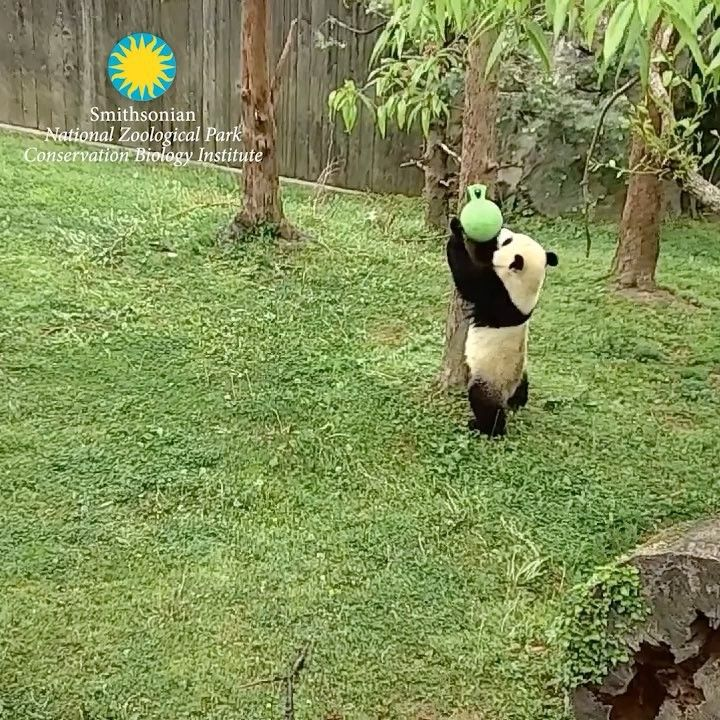 """8,199 Likes, 319 Comments - Smithsonian's National Zoo (@smithsonianzoo) on Instagram: """"🐼 Bear attack! The panda cams caught #BeiBei wrestling his jolly ball this weekend. #PandaStory"""""""