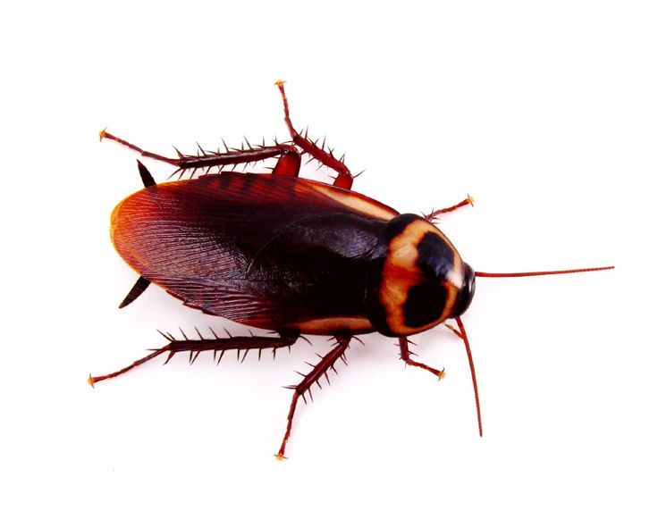 Critter & Pest Defense provides pest control services for roaches, bees, bird, ticks, and fleas and includes information about services and pests. Our business is accredited and insured, and will work with you to get free of your roach  control problem in Orlando once and for all. More info: http://www.critterandpestdefense.com/services/roach-control/