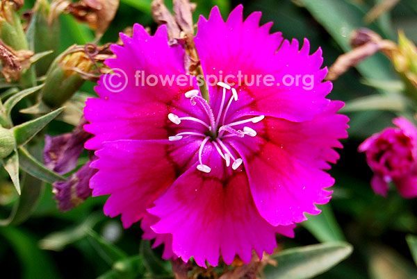 Common Name: Dianthus pink with white Botanical name: Dianthus plumarius Family:… – Caring&Cheerful CARNATIONS