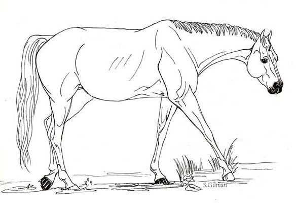 Horse With Big And Strong Stomach