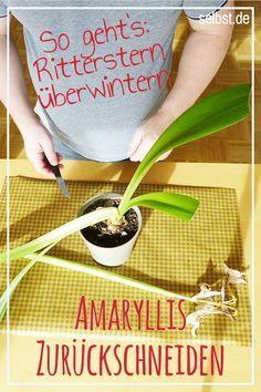 Amaryllis überwintern