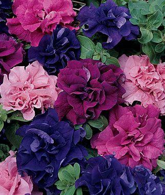 "Petunia Burpee's Best Mix Hybrid  Biggest blooms; widest color range.    Burpee Exclusive    Customer Favorite!  Sow indoors, 6-10 weeks before last frost. Space plants 8-10"" apart. Burpee's Best Mix. Improved Biggest blooms; widest color range."