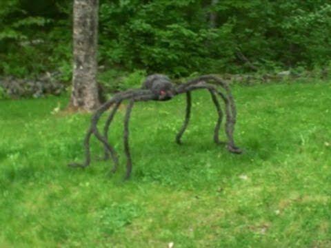 Worlds Largest Spider! The Giant huntsman spider is huge ...