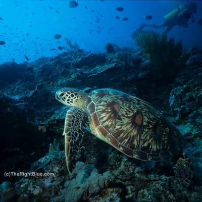 Green Sea Turtle (Chelonia mydas) - Pulau Sipadan, Malaysia - photo by B N Sullivan for TheRightBlue.com