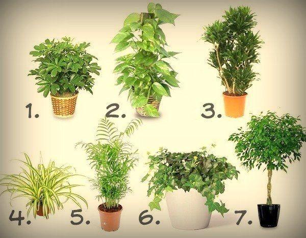 1. Шеффлера (Schéfflera или Зонтичное дерево)— буквально создана для помещений, в которых курят. Она прекрасно «усваивает» и нейтрализует никотин и смолы, содержащиеся в табачном дыме. 2. Сциндапсус золотистый (Epipremnum aureum или Потос) очищает воздух от бензола. Обширные листья воспринимают большое количество этого вещества. Вырастает он быстро, а поливать его можно довольно редко. 3. Драцена (Dracaena) обезвреживает формальдегид. Это растение ликвидирует ядовитые пары формальдегида…