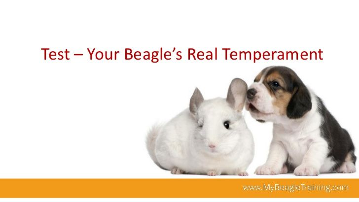 Beagle Temperament Test - What is your beagle's real temperament?