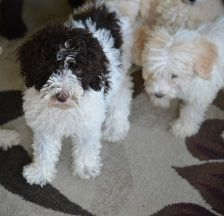 Labradoodle puppies for sale |