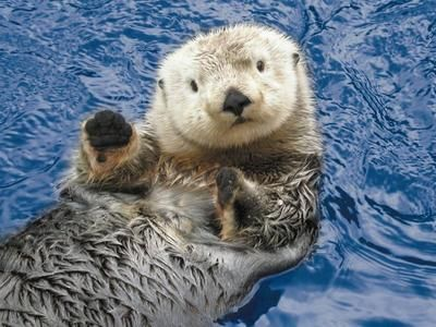 Sea otter at the Vancouver Aquarium