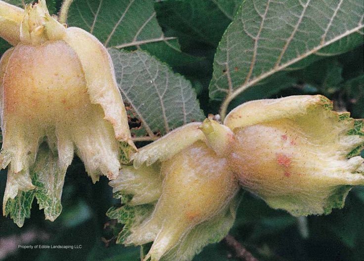 Theta Filbert Nut - Corylus hyb  The hazelnut breeding program at Oregon State University directed by Shawn Mehlenbacher uses the genetic diversity in the genus Corylus to create new cultivars with resistance to eastern filbert blight. Theta is a 2009 release that is immune to the blight. Theta pollinates Jefferson and Eta with sizable nuts of its own. Plants are on their own roots. Zone 5-8