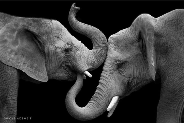 http://www.boredpanda.com/animal-photography-elephant-love-wolf-ademeit/   Elephants love their families, as much as we do. These beautiful photographs by Wolf Ademeit capture the beautiful elephant love.  They are gentle and emotional giants, who delight at a newborn, mourn at a death, and play with joy and intelligence. One collar can save a whole elephant family. As they roam freely in their homeland over vast areas.  Wolf has kindly let us use these stunning images to raise money to buy…