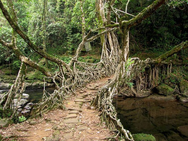 Tree Root Bridge   There Is A Tribe In India That Has Passed Down For  Generations The Art Of Manipulating Tree Roots To Create A System Of  U0027livingu0027 Bridges ...