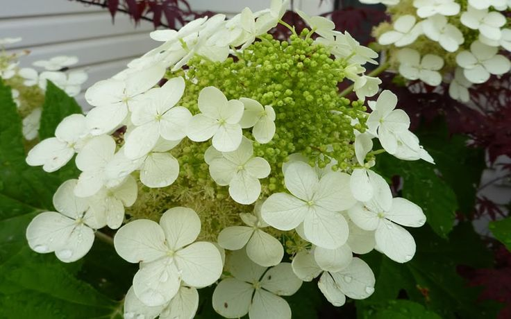 Pee Wee provides the same four-season appeal and lavish flower production as it's larger growing oakleaf hydrangea cousins but in less than half the space.