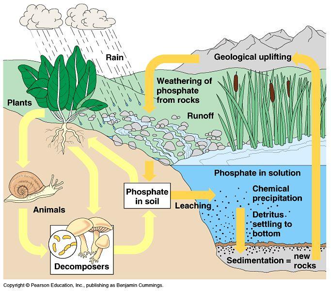 Phosphorus Cycle Worksheet - Rringband