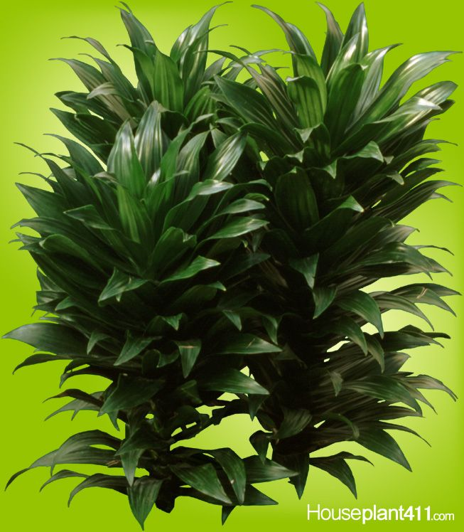 12 best dracaenas easy care house plants images on for Easy maintenance indoor plants