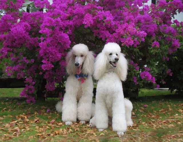 16 52 Poodles Among The Purple Poodle Dog Poodle Poodle Puppy