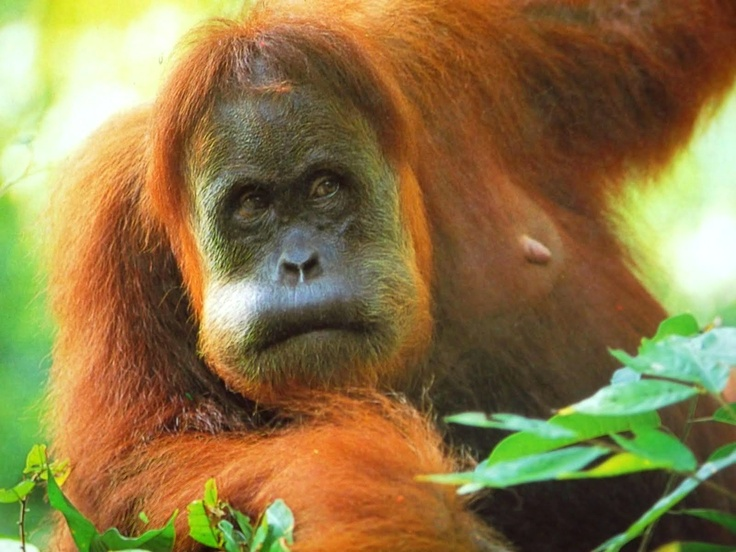 Urang Utang Sumatra...