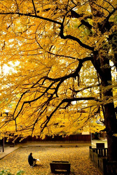 Great Ginkgo tree, Zuio-ji Temple, Niihama, Ehime, Japan