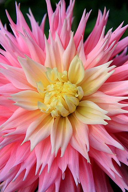 ~~Explosion ~ Pink Dahlia Close-Up by amazon2008~~  Dahlia grow beautiful up here good clean air but the deer love them for a snack :(