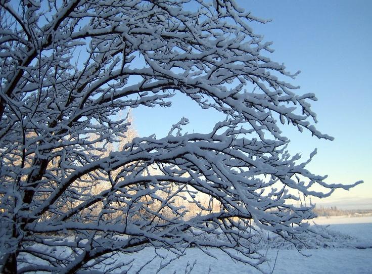 Plum tree on winter