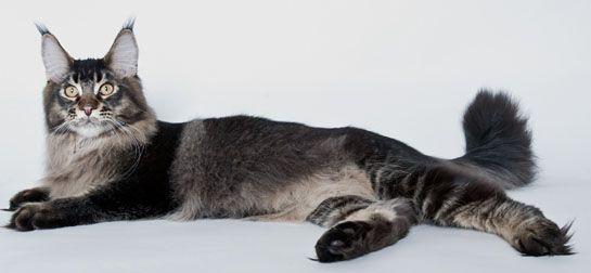 #MaineCoon #Black #Tabby #Ticked #Cats
