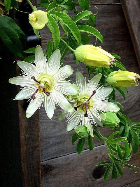 Uma das flores mais belas é a flor de maracujá, profundamente ligada a minha infância.
