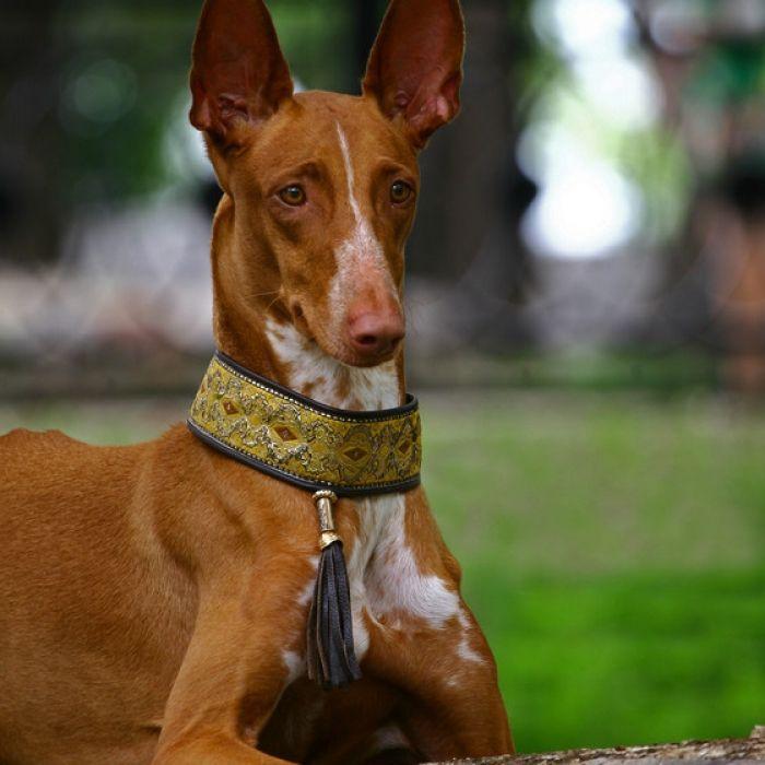 Pharooh Hound photo | Pharaoh Hound Puppy & Pharaoh Hound Breed Information