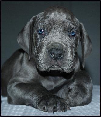 deense dog pup