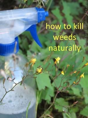 """Natural weed killer recipe - Combine 2 cups of vinegar with ½ cup table salt in a spray bottle, add a dash of liquid dish soap to it. Mix well to dissolve the salt. Set spray nozzle to """"stream"""" rather than """"mist"""" and aim for the base of the weed. Spray on a hot sunny day, avoid spraying on windy days as it can kill plants too. Your weeds will usually die within a week, if not, reapply. by sheree"""