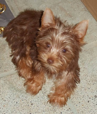 Exotic Chocolate Teacup Yorkie Puppies for Adoption - Gorgeous!