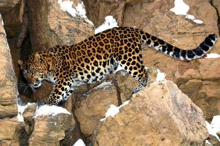 El leopardo Amur se ganó el 'premio' de las especies protegidas por el Fondo Mundial para la Naturaleza
