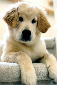 What a face!: Puppies Faces, Babies, Golden Retrievers, Sweet Baby, Pet Tees, Faces 3, Http Baby Dogs 37 Blogspot Com, Golden Retriever Puppies, Adorable 3