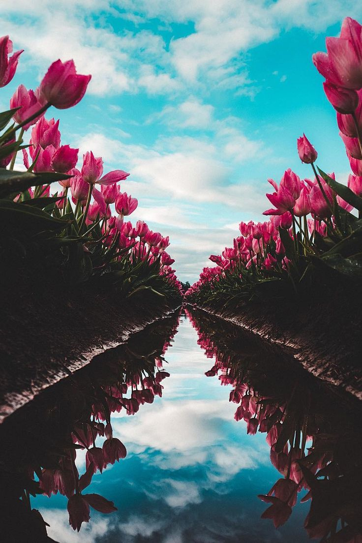 """lsleofskye: """"Woodburn Tulip Festival """" What a great photo! I never could make tulip fields look unique in my pictures."""