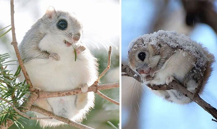 White Wolf : Siberian Flying Squirrels Are Probably One Of The Cutest Animals On…