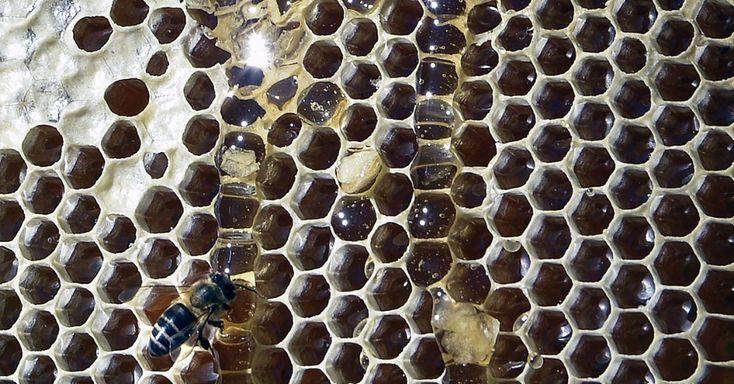 Equipe da Universidade de Cardiff, do País de Gales (Reino Unido), desvendou o mistério da geometria da colmeia. Os favos são inicialmente circulares, mas ganham a forma hexagonal ao longo da construção das fileiras, prateleiras onde são depositados pólen e mel. O calor criado pelas abelhas operárias, que trabalham sem parar nessa estrutura, derrete a cera que se estica como um caramelo, e os ângulos dos hexágonos se formam na junção das células MAIS Juan Mabromata/AFP