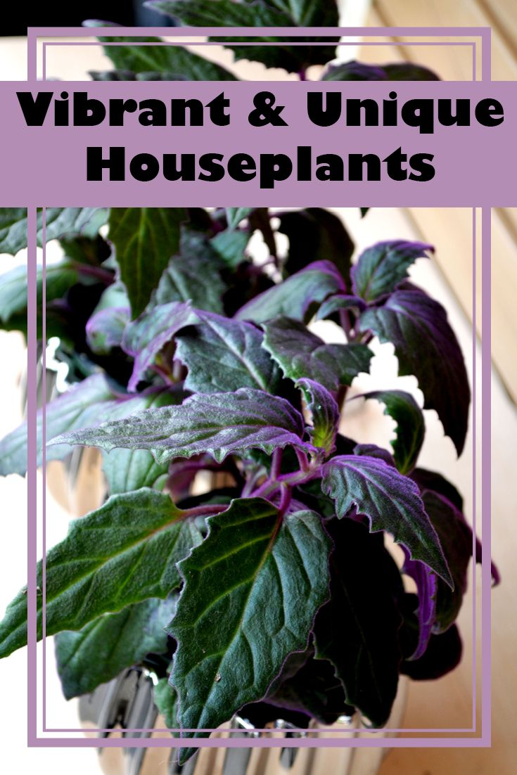 love these purple house plants