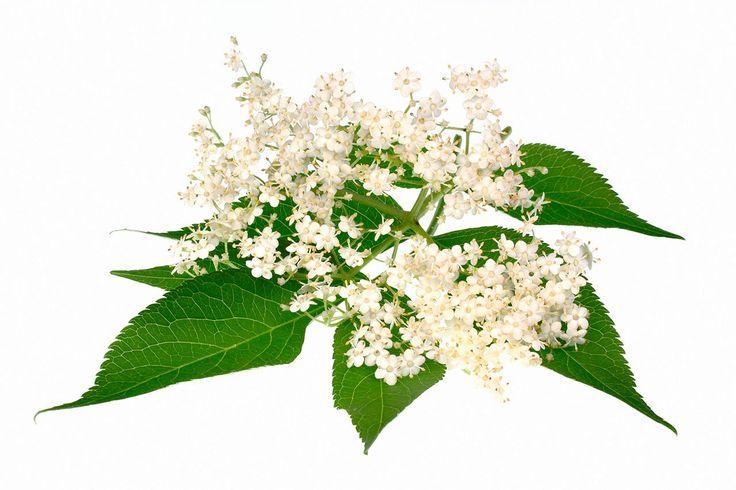 ¿Sabías que el saúco es uno de los árboles con más potencial mágico en la cultura europea? Se emplea para afecciones de las vías respiratorias altas, como anticatarral y es eficaz contra los resfriados gracias a su acción sudorífica. Es calmante, úti