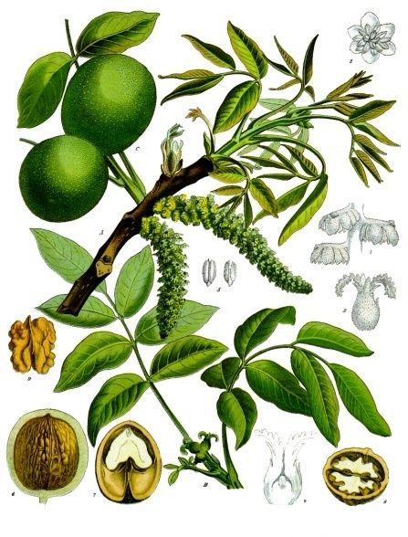 Der Walnussbaum gibt nicht nur schmackhafte und nährstoffreiche Früchte. Er hat…