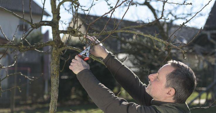 In den Wintermonaten schneidet man Kernobst wie Apfel-, Birnen- und Quittenbäume. Die Schnittmethoden sind bei allen Arten dieselben. Mit diesen 10 Tipps gelingt der Obstbaumschnitt.