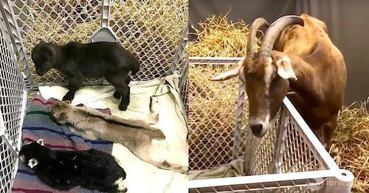 A whole family of goats was saved because a text message was sent to just the right person.