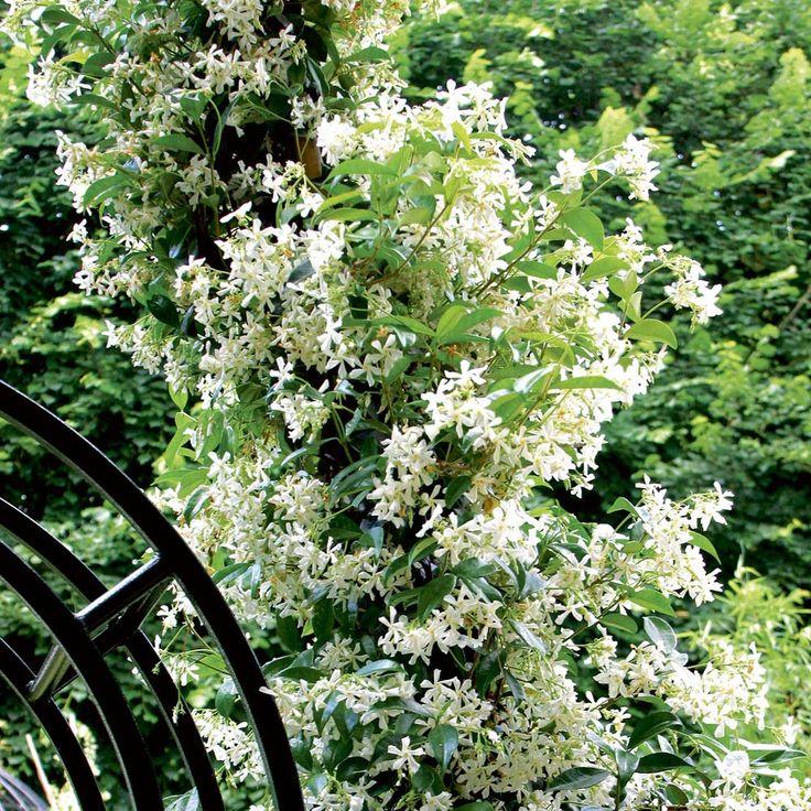 Trachelospermum Jasminoidesstar Jasmine Confederate