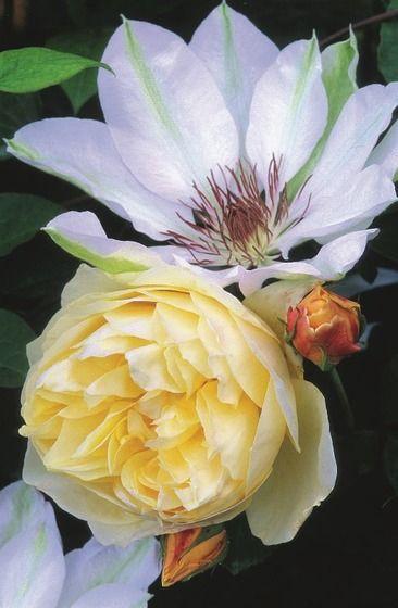 Ruže sú nepochybne  krásne samy o sebe.  Ak sú však vysadené  na záhone samostatne,  časom sa medzi nimi  vytvoria nepekné  medzery. Predstavíme  vám druhy, ktoré sú pre  ne dokonalými partnermi  a ich krásu ešte viac  podčiarknu.