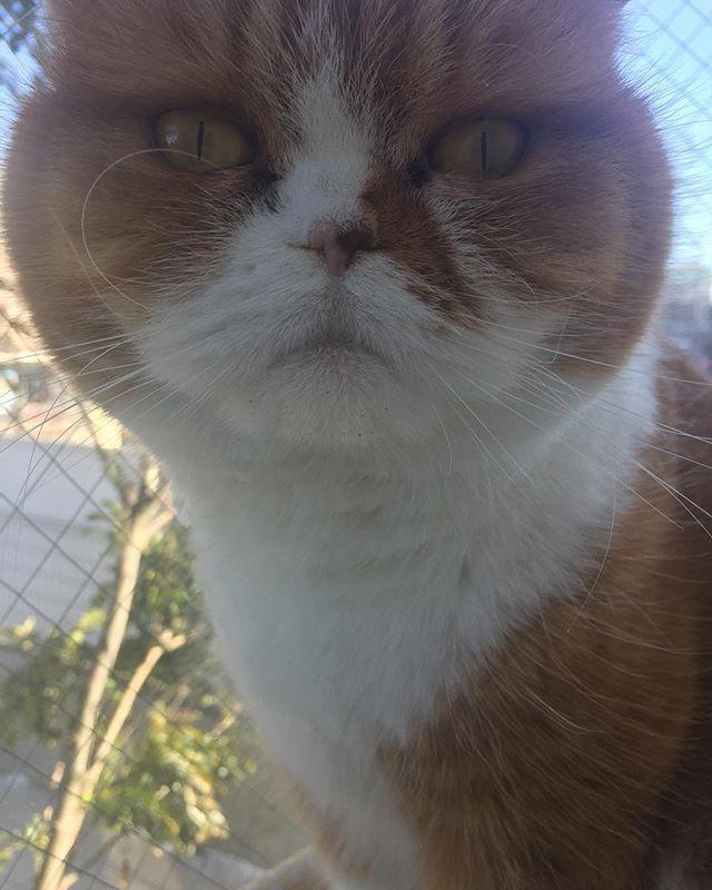 みてよ クルンってなったおひげ hi  #たま#スコ#猫#cat#cats#tama#instacat#catlover#cutecat  #にゃんすたぐらむ#ふわもこ部#neko#kawaii #ハチワレ#instagallery#beautiful#friend #catstagram#catlife#ilovemycat#茶トラ #にゃんこ#ねこ部#catsofinstagram#愛猫  たまちゃん お口の周り 食べカスついてます…