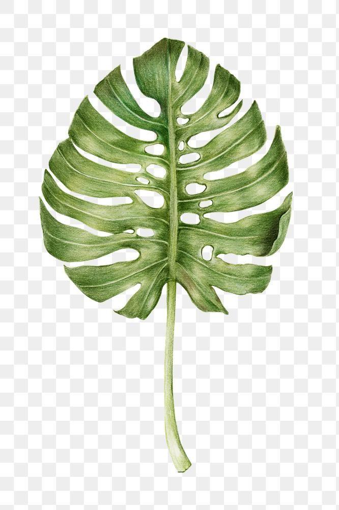 Vintage Monstera Leaf Png Hand Drawn Illustration Sticker Free Image By Rawpixel Com Gade