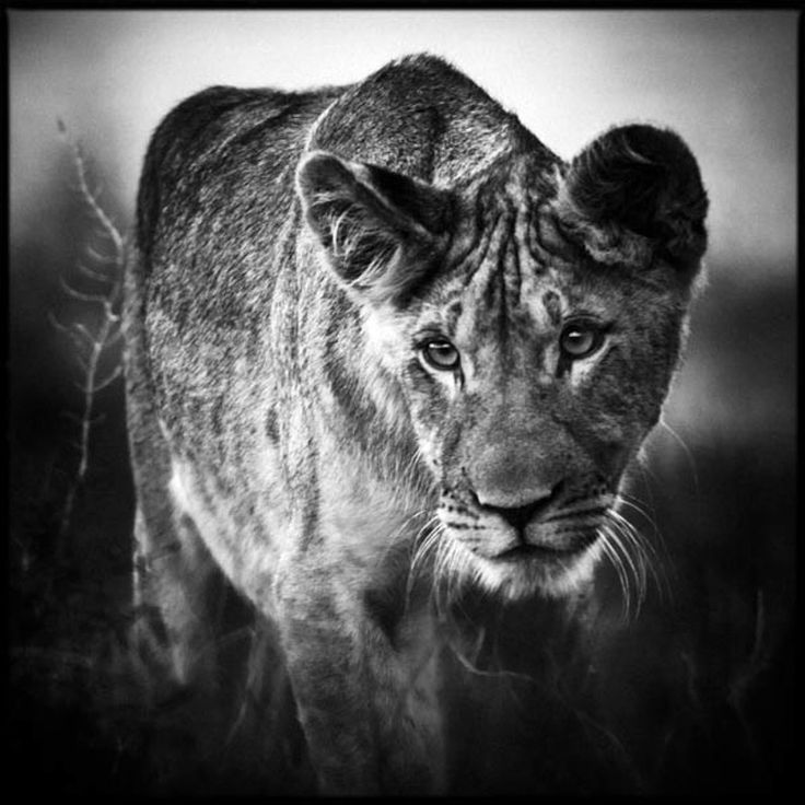 Best BW Lions Images On Pinterest Drawings Animal And Cats - Powerful and intimate black white animal portraits by luke holas