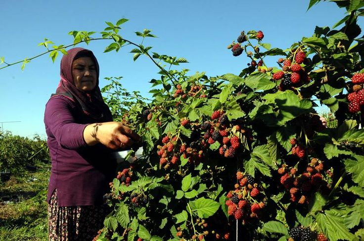 Osmaniye'de, hububat tarımına alternatif olarak ekilmeye başlanan böğürtlende hasat başlarken, artan rekolte üreticiyi sevindiriyor.