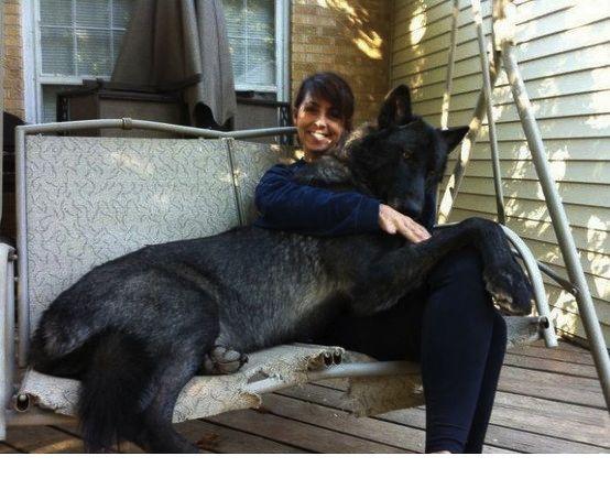 domesticated jacob black wolf