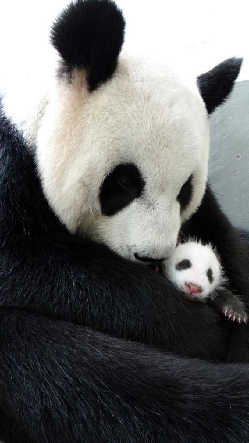 Giant Panda Bear with newborn, Taipei, China!