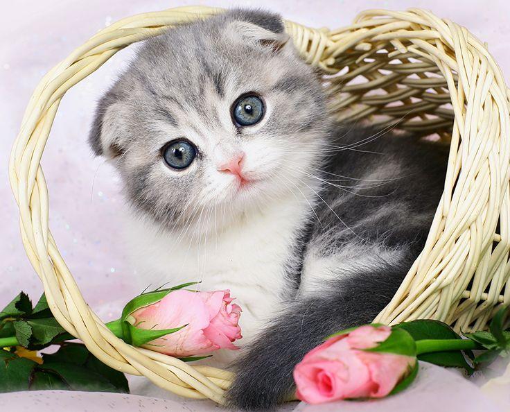 Katze Rosen Schottische Faltohrkatze Kätzchen Weidenkorb Katzenjunges Tiere